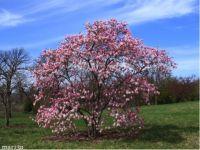 MagnoliaLoebneriLeonardMessel