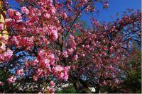 PrunusSerrulataKanzan